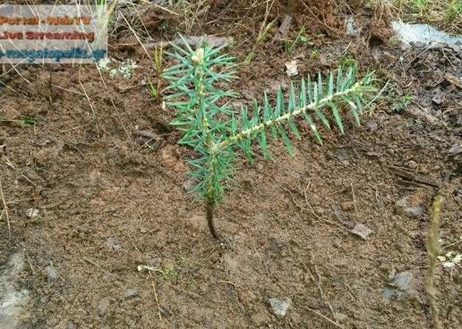3.500 δένδρα φυτεύτηκαν στο Μαίναλο