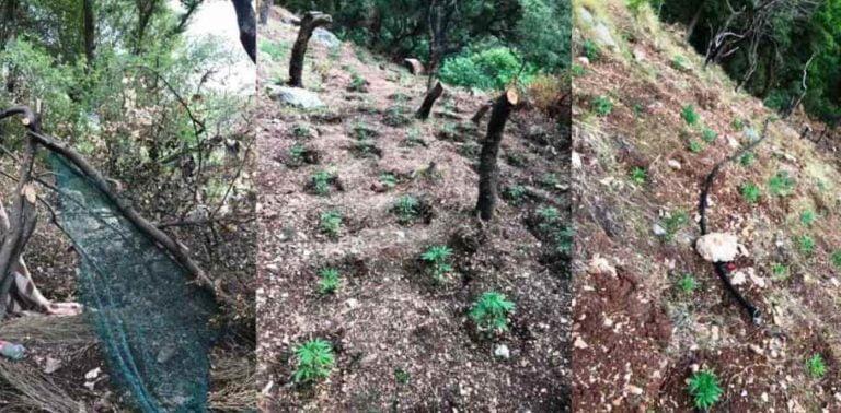 Εντοπίστηκε φυτεία δενδρυλλίων κάνναβης στη Μεγαλόπολη (photo)
